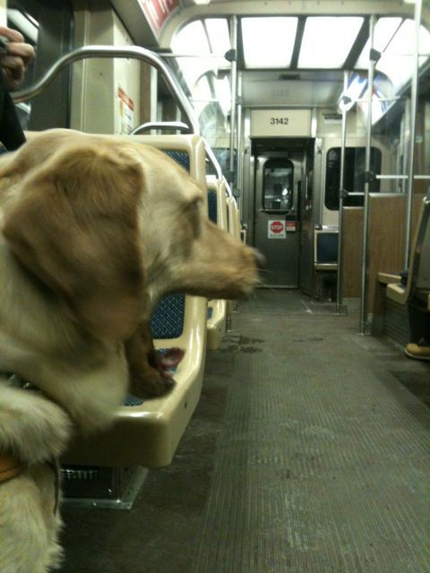For Whitney (and all of Beth's dogs) travel by planes, trains (here the L) and automobiles is a big yawn.