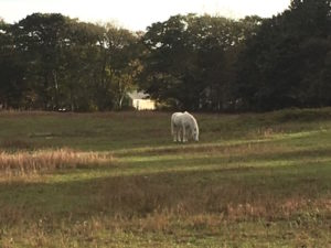 Photo of a white horse.
